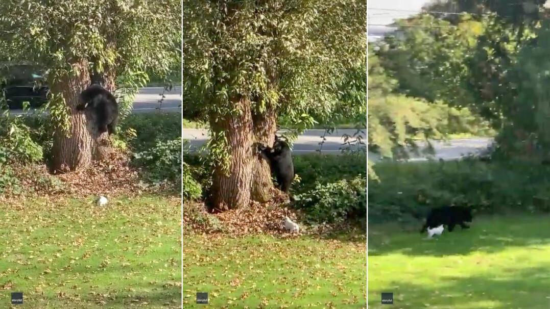 Mały pies przegania niedźwiedzia ze swojego podwórka