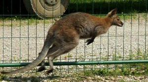 Kangurzyca Stefania poszukiwana