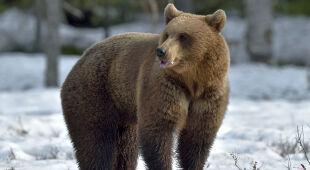 Niedźwiedzica zaatakowała mężczyznę w Bieszczadach